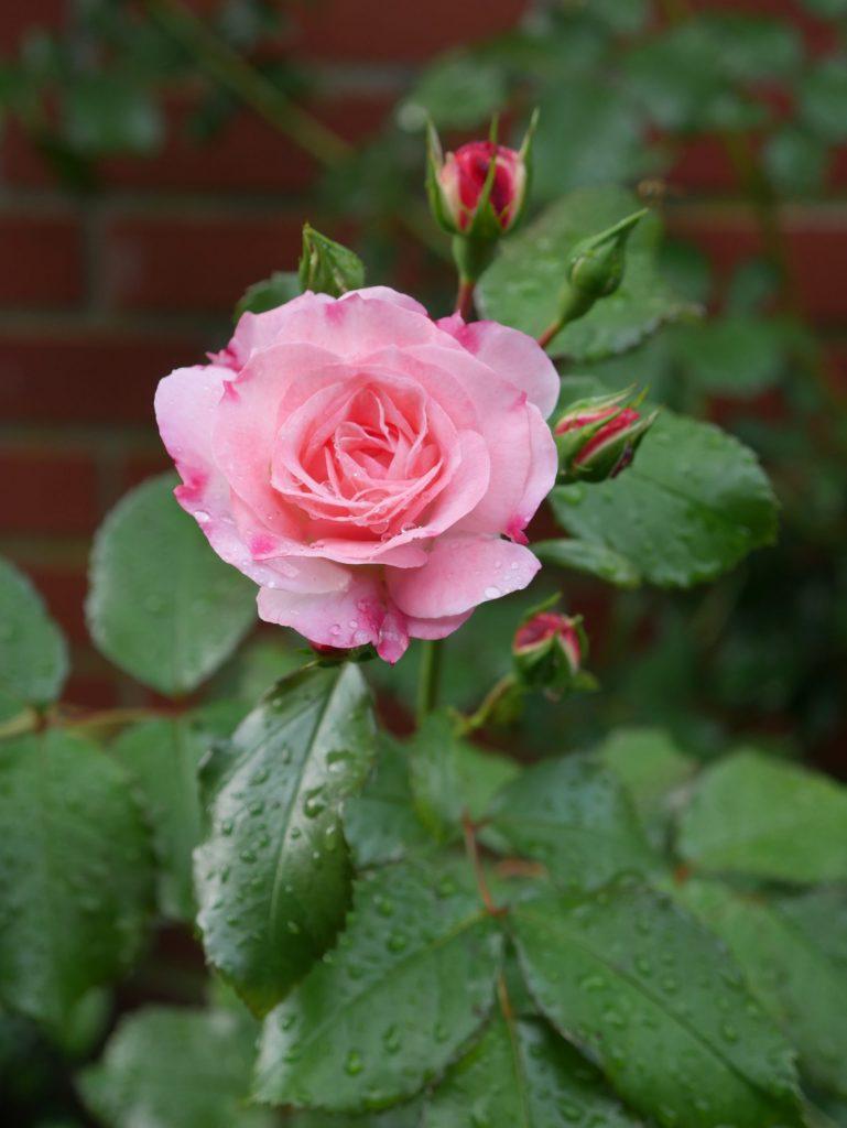 Partnerschaft im Familienbetrieb: Rose